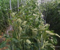HORTOMALLAS bell-peppers-support-netting